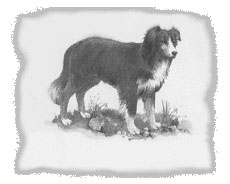 urahne-border-collie